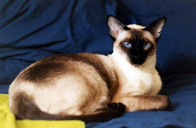 Beautiful Siamese Cat Named Oliver
