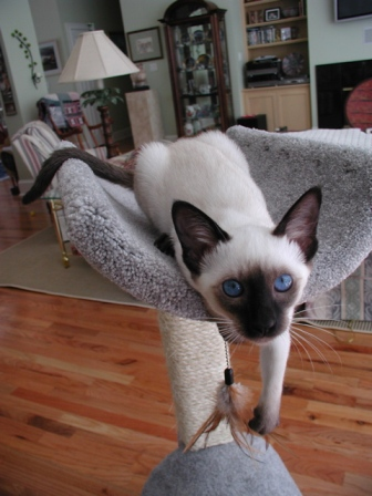 Siamese kitten - I love my cat pole.
